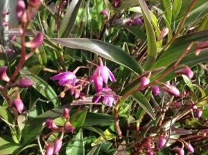 Australian orchid