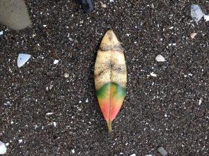 Pohutukawa leaf