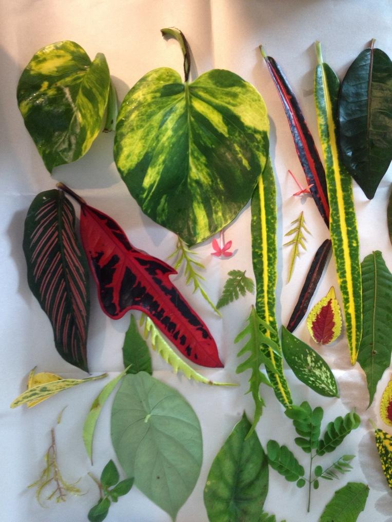 Samoan leaves