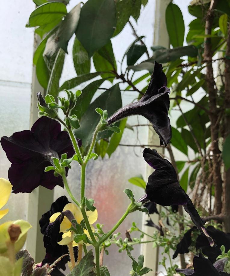 Dark Petunias for Ant