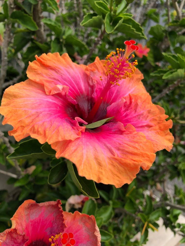 Pink and Orange hibiscus