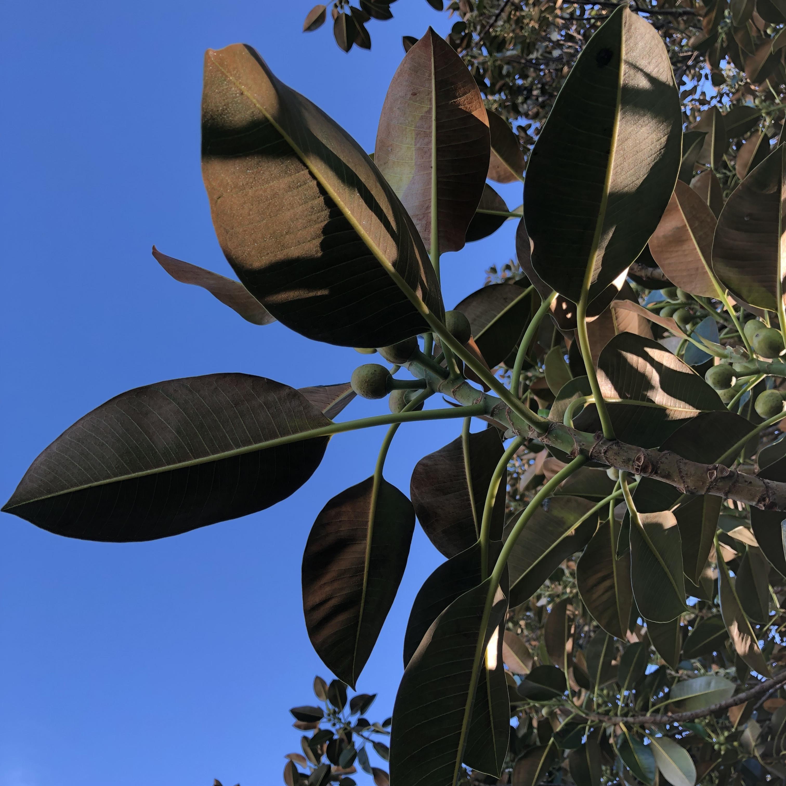 Moreton Bay fig details