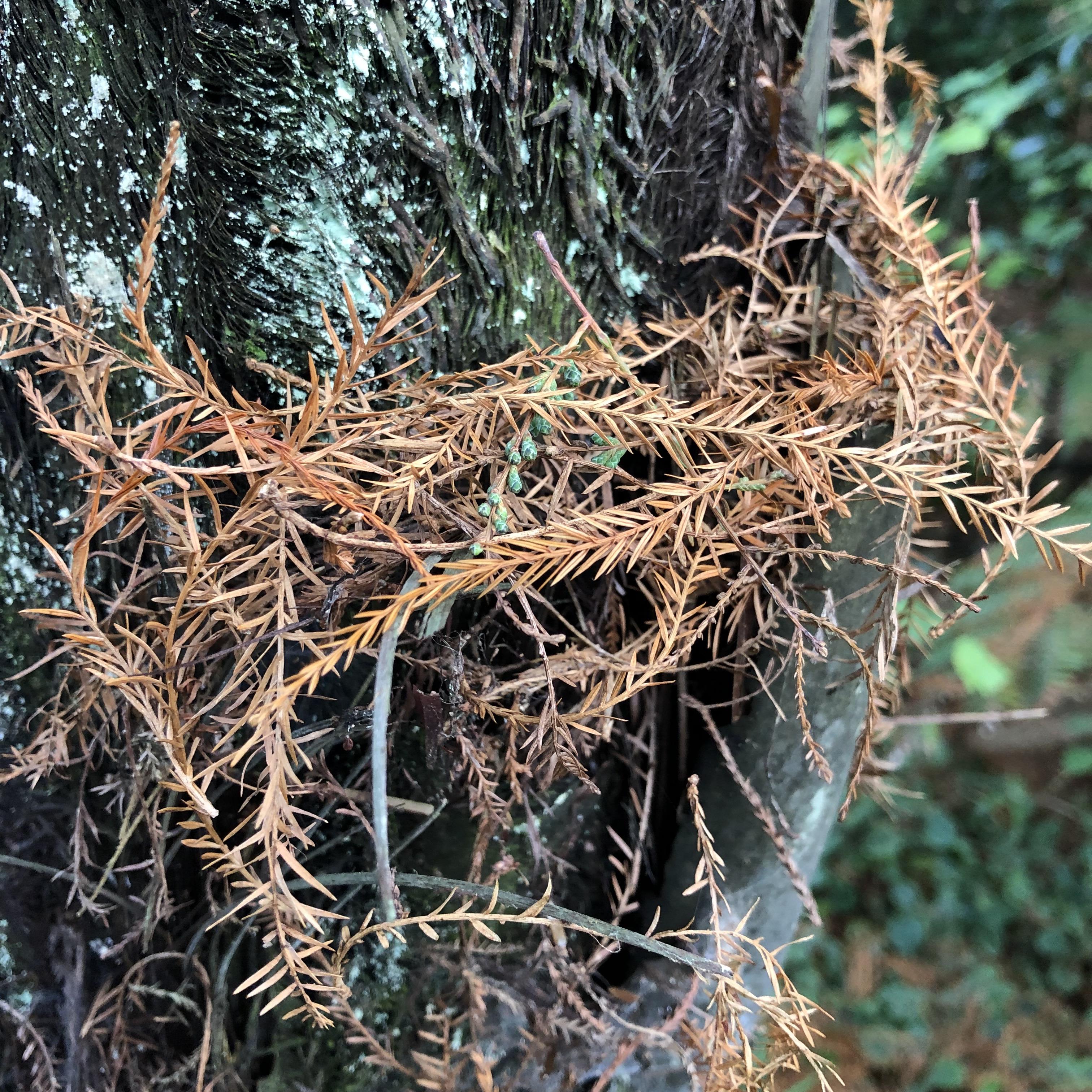 Memory Garden fir