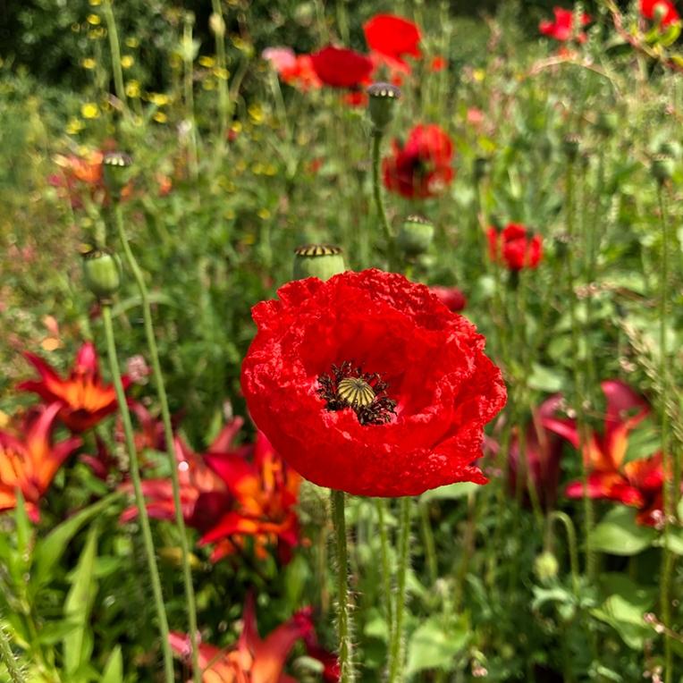 Geraldine poppies